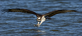 About Ospreys