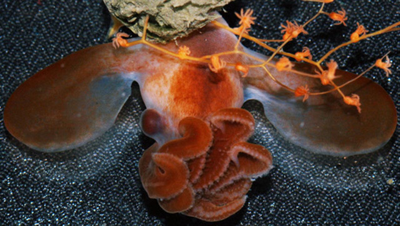 Dumbo octopus hatching