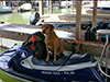 Guide dog Whit on a jet ski