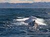 Sperm whale surfacing