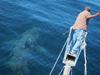 Basking shark tags