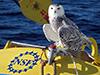 Snowy owl on OOI buoy