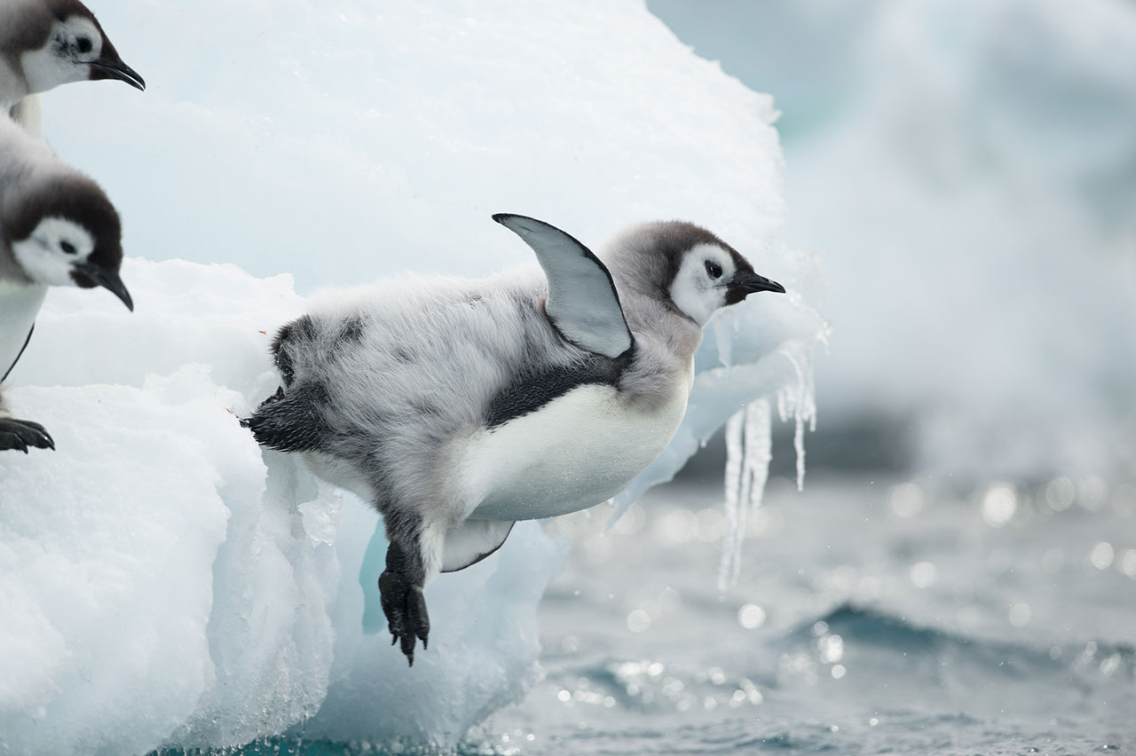 Penguin launching