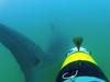 REMUS tailing shark
