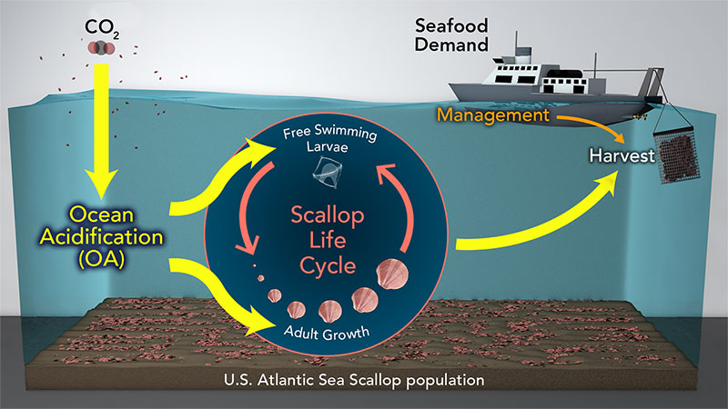 Scallop illustration
