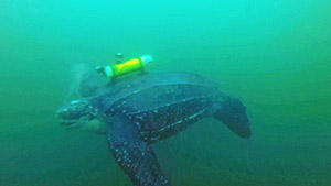 To Track a Sea Turtle