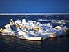 Ice algae in Arctic