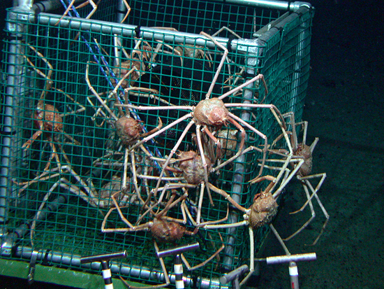 many crabs