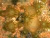 baby corals