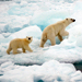 Polar Bear Population Likely to Become Extinct