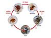 Panamanian crab life cycle