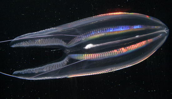 comb jelly 2