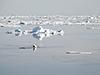 polar bear climbing onto ice floe