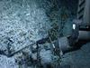 hydrothermal shrimp