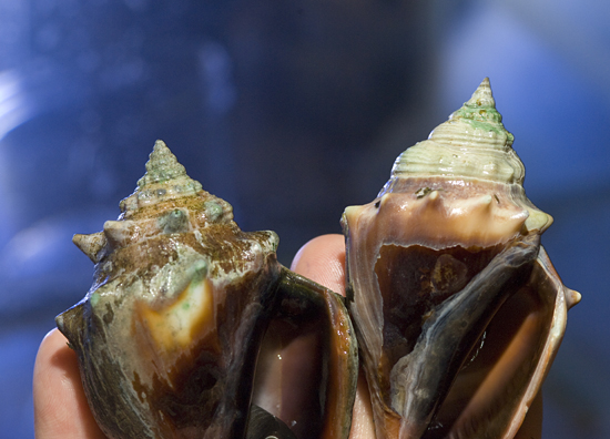 Justin Ries, a former postdoctoral scholar at WHOI, and colleagues Anne Cohen and Dan McCorkle grew 18 species of shell-building marine organisms in tanks under air containing different concentrations of carbon dioxide?from the level in today's atmosphere, to higher levels predicted for the future, to extremely high levels.