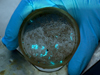 Bioluminescing copepods