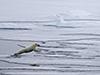 polar bear jumps between floes