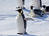 Emperor penguin with wing out