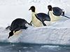 Emperor penguins slide into water