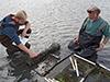 growing clams as aquaculture