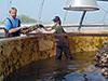 Woods Hole Sea Grant supports local aquaculture