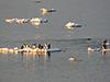 Gentoo penguins on ice floe