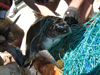turtle rescue at sea