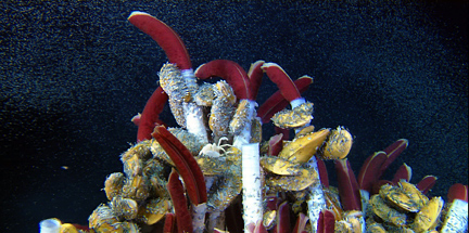 tubeworms