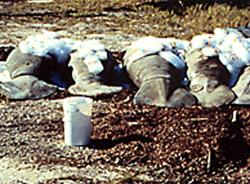 dead manatees