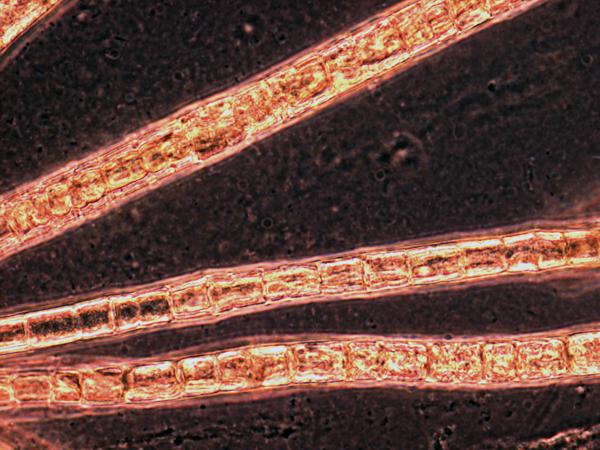 Camel brown Trichodesmium thiebautii