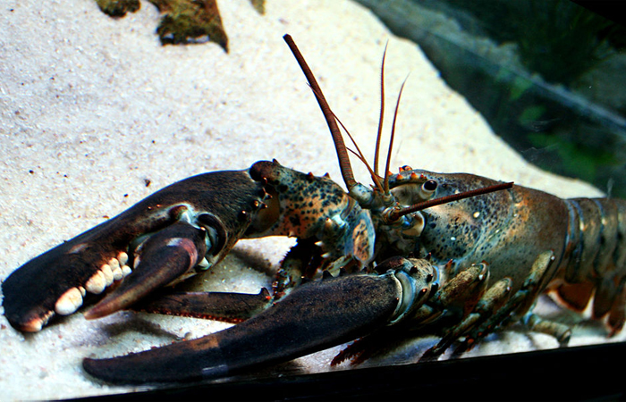 lobster Image provided by Dreamstime.com