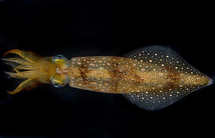 Scientists Find that Squid Can Detect Sounds