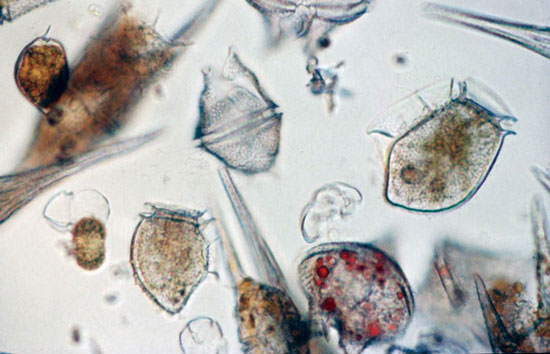 A Fatal Attraction for Harmful Algae
