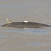 Tiny Computer Tag Provides Insight to Reclusive Beaked Whales