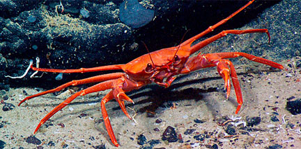 Gerionid crab