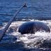 Sperm Whale Lingo: Clicks and Buzzes Lead to Prey