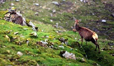 pregnant Rum deer