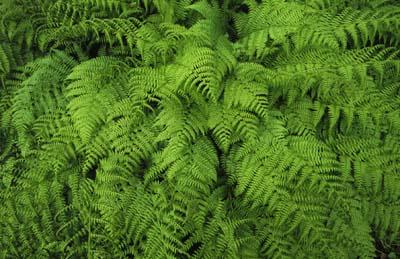prodigious fern