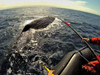 Tagging sperm whales