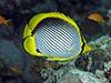 Blackbacked butterfly fish