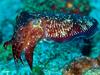 cuttlefish, Sepia, near Papua New Guinea