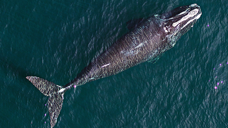 Drone view of whale