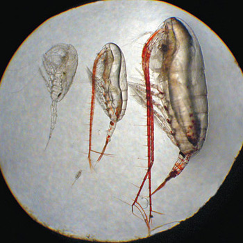 Microscope image of the four major species of copepods in the Beaufort Sea all have different sizes, different life cycles, and different prey. L to R: Metridia longa (~2.5 millimeters), Calanus glacialis (~4mm), Calanus hyperboreus (~7mm).