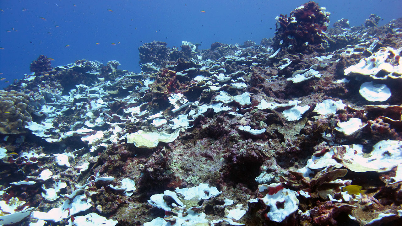 study tracks severe bleaching events on a pacific coral reef over
