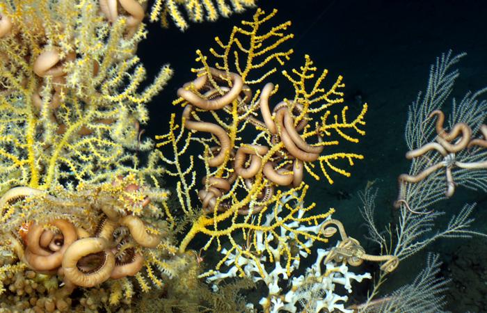 Deep-sea corals
