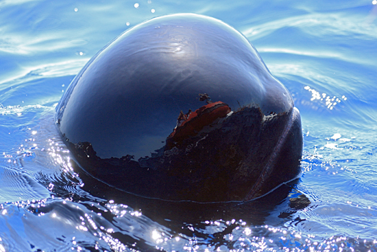 researchers reflected in pilot whale