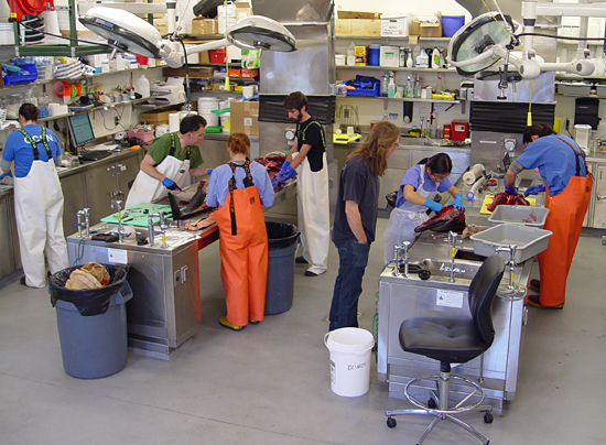 In this Dec. 17 snapshot of activity in the Marine Research Facility Necropsy Lab, researchers investigate the body of a common dolphin that died the day before in Harwich.