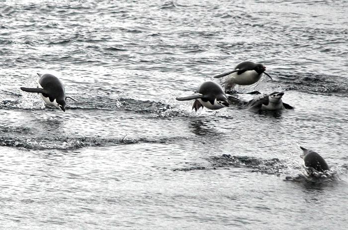 Porpoising penguins