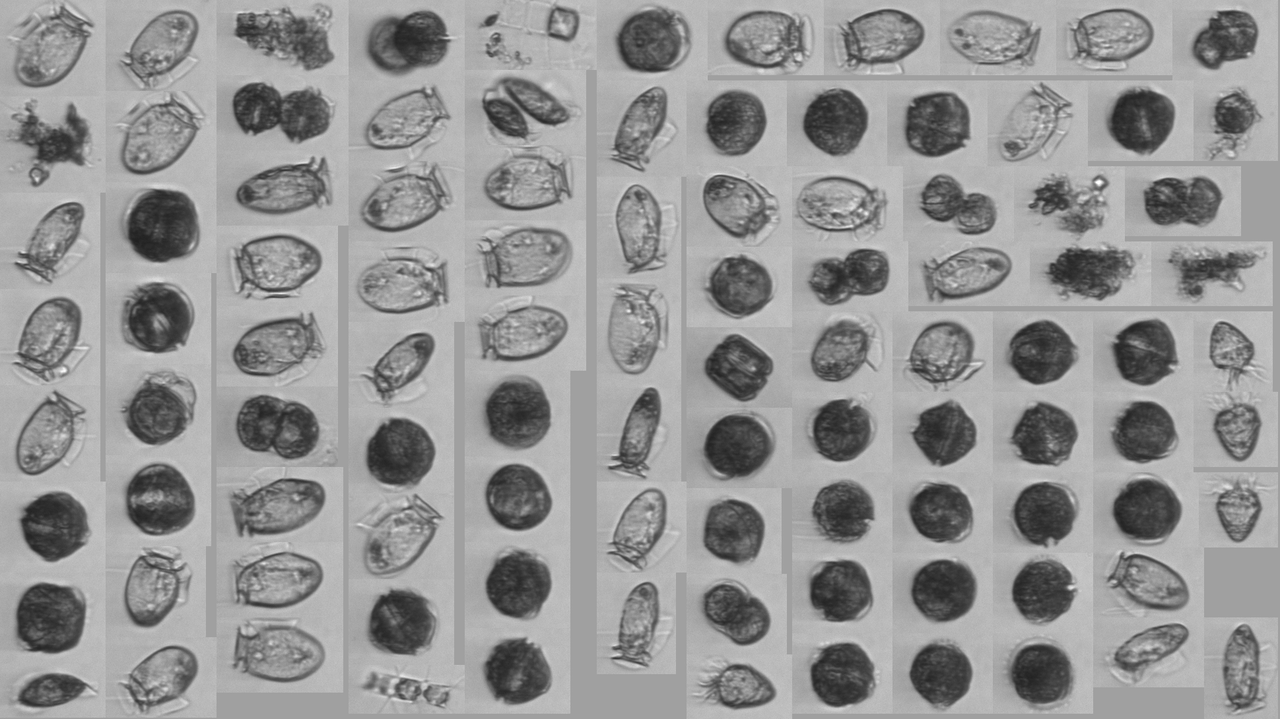 Mosaic of Alexandrium and Dinophysis images collected by the IFCB.