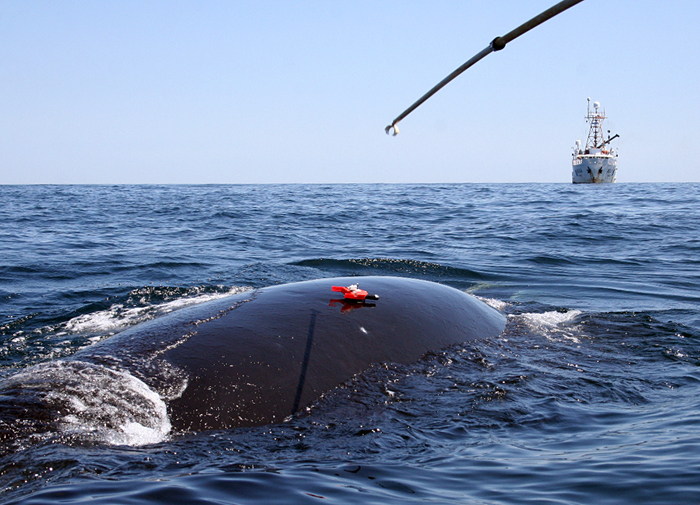 Right whale tagging
